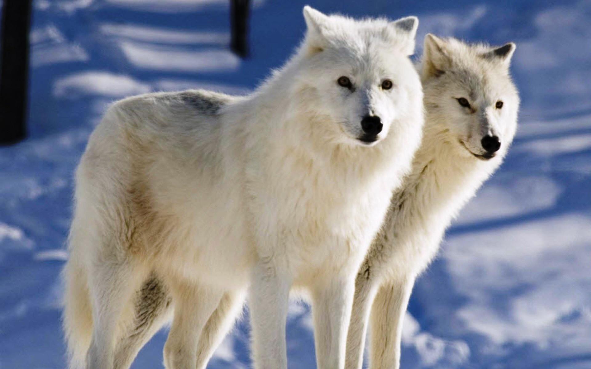Картинка волки целуются - e3d