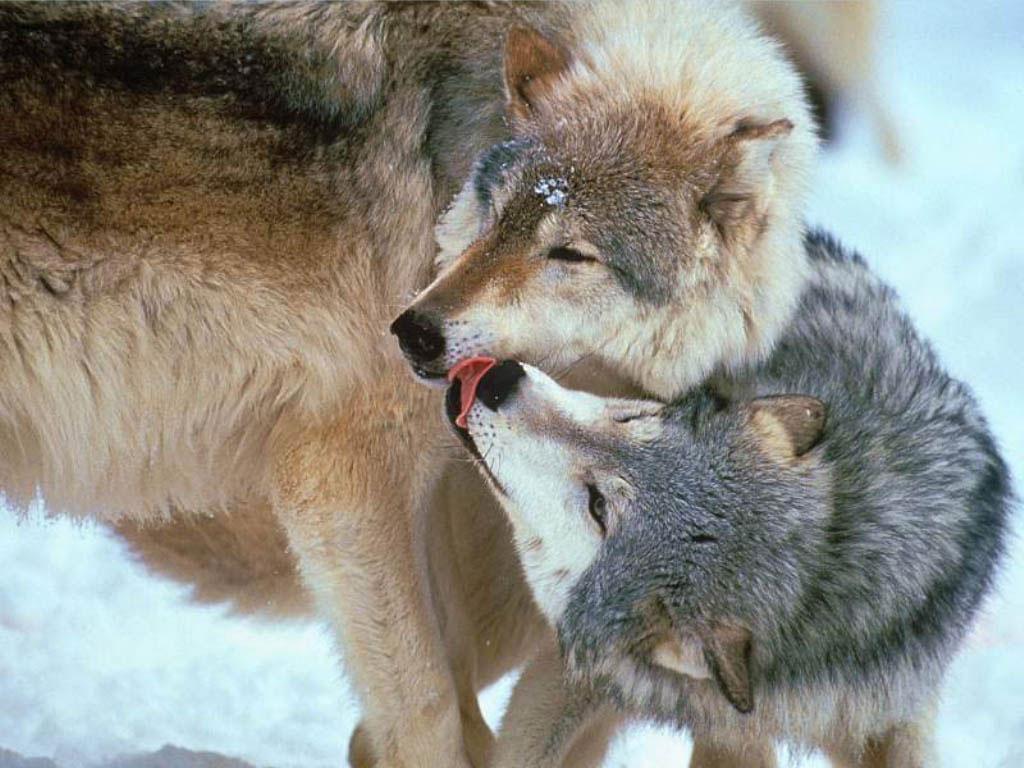 игры волки на 2