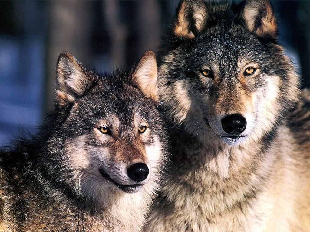 Картинка волки целуются - 0a