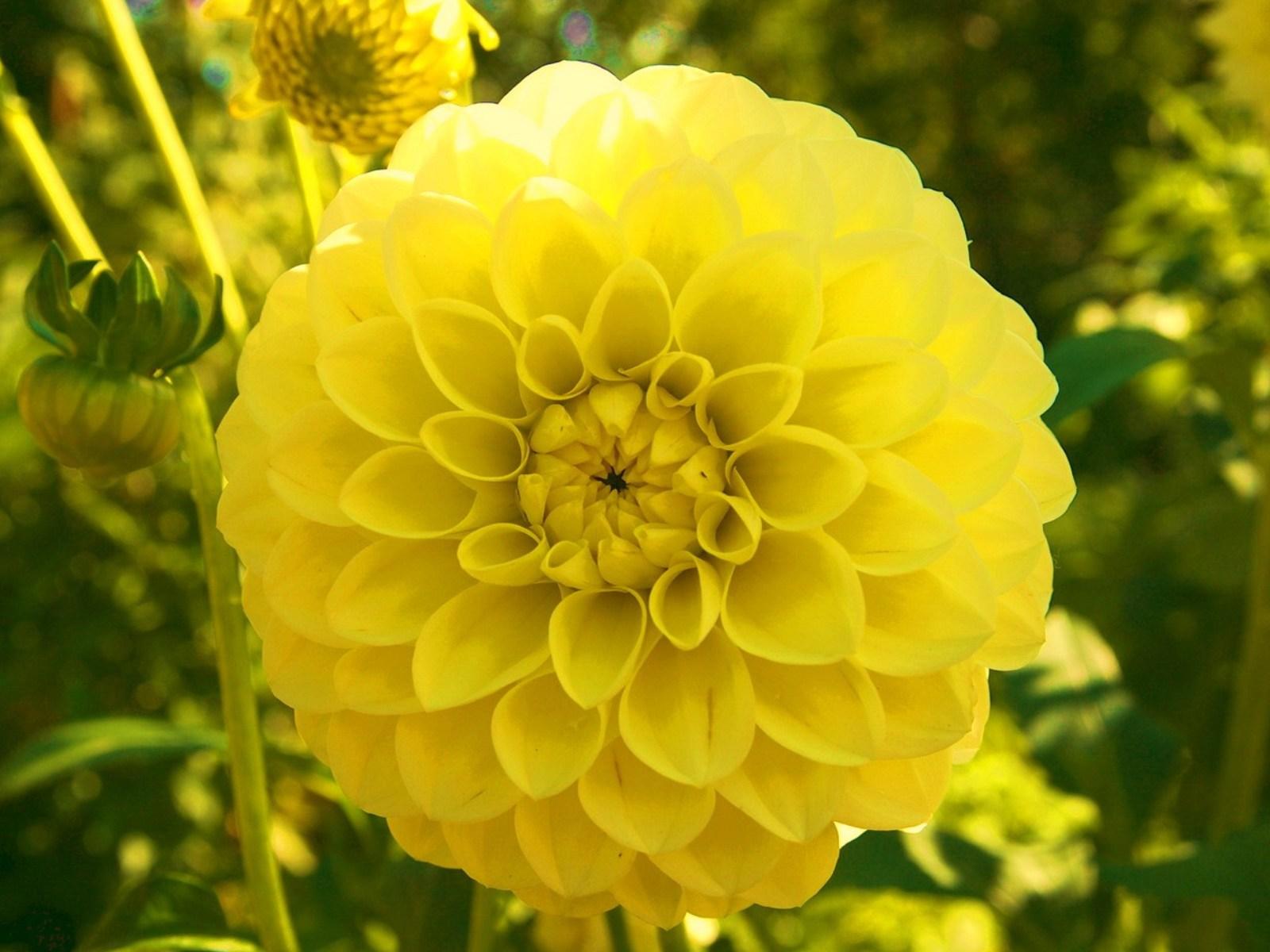 георгины фото желтые