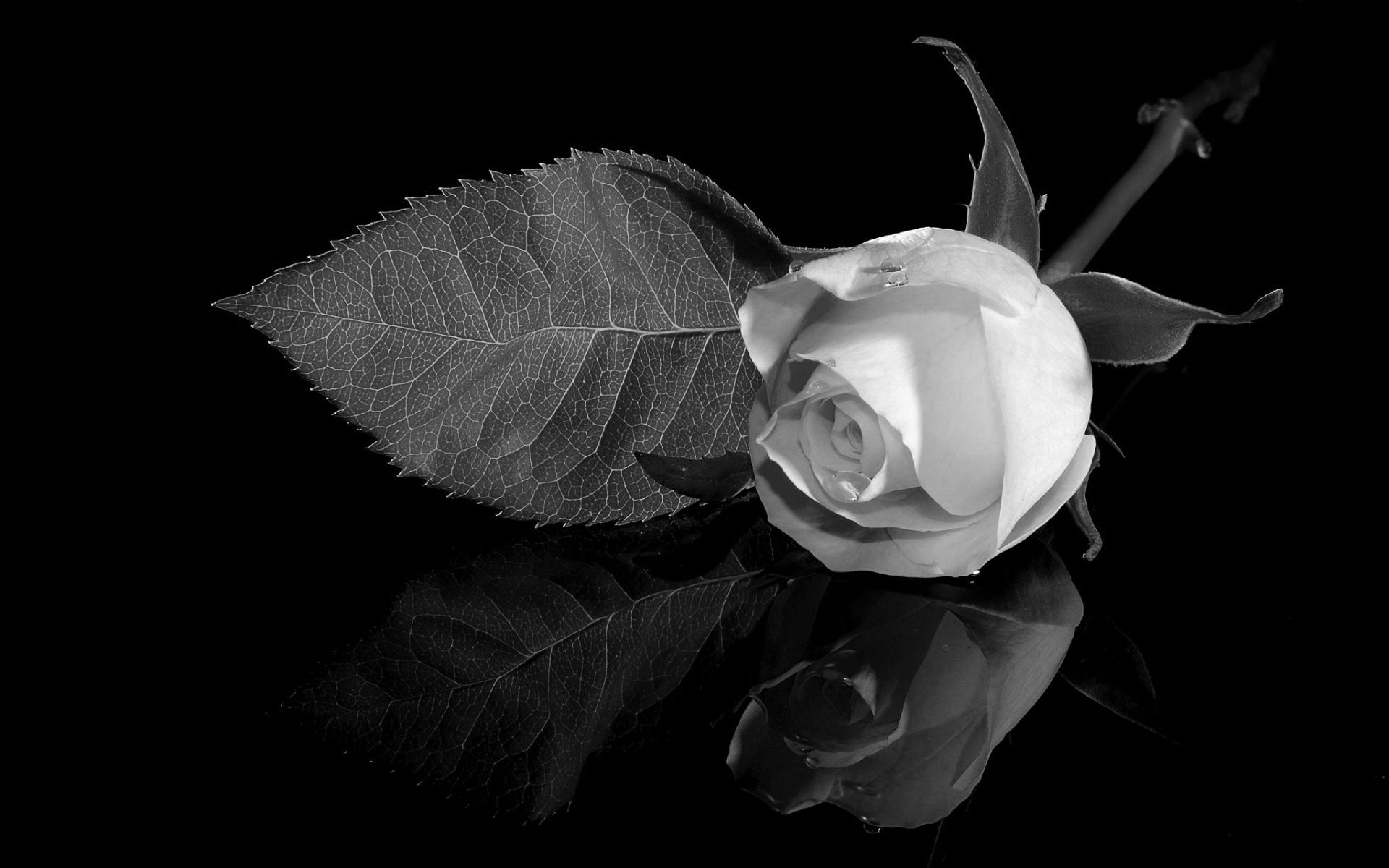 Черно-белая роза картинка