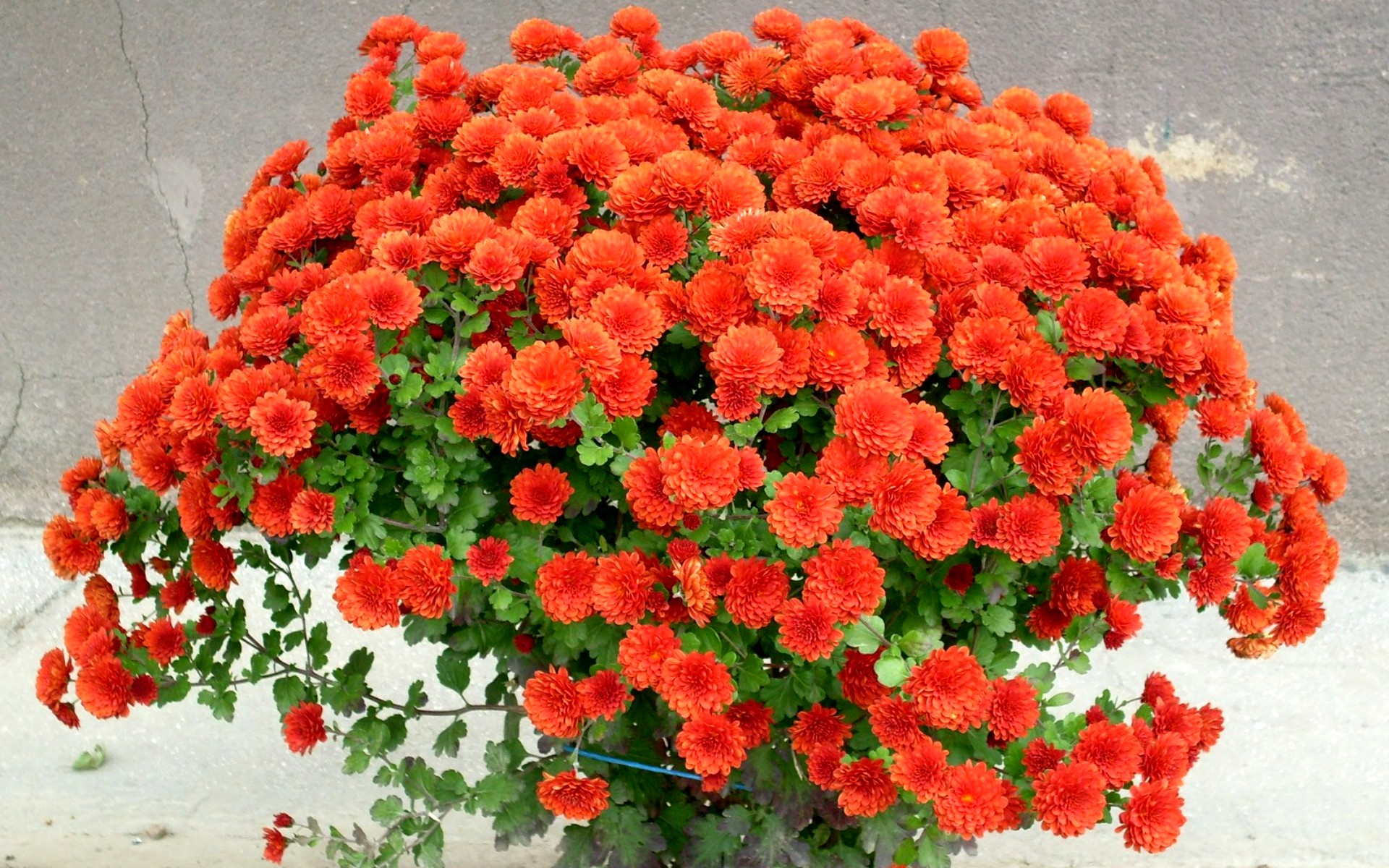 http://www.kartinki24.ru/uploads/gallery/main/443/kartinki24_ru_chrysanthemums_05.jpg