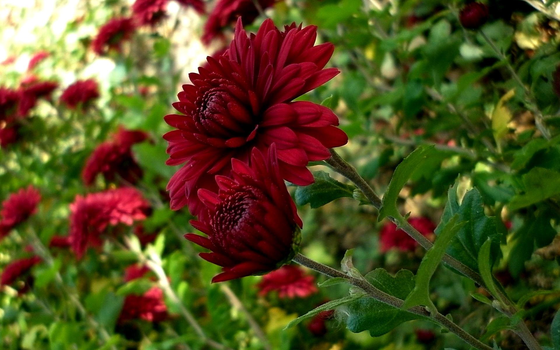 Сонник бордовые цветы