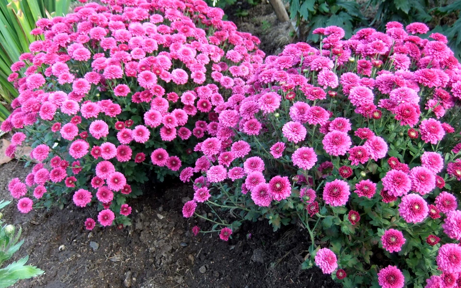 Кустовые цветы многолетники в фото