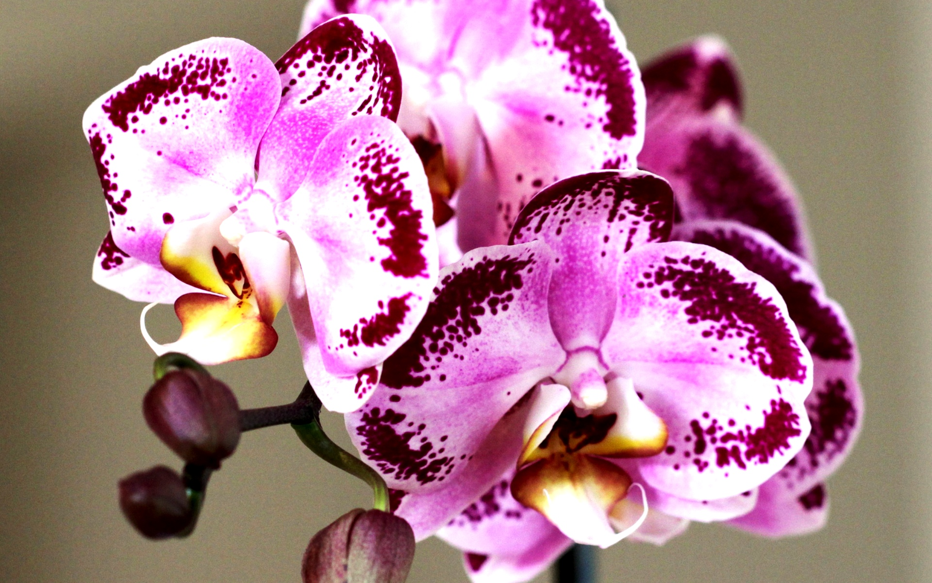 скачать фото орхідей