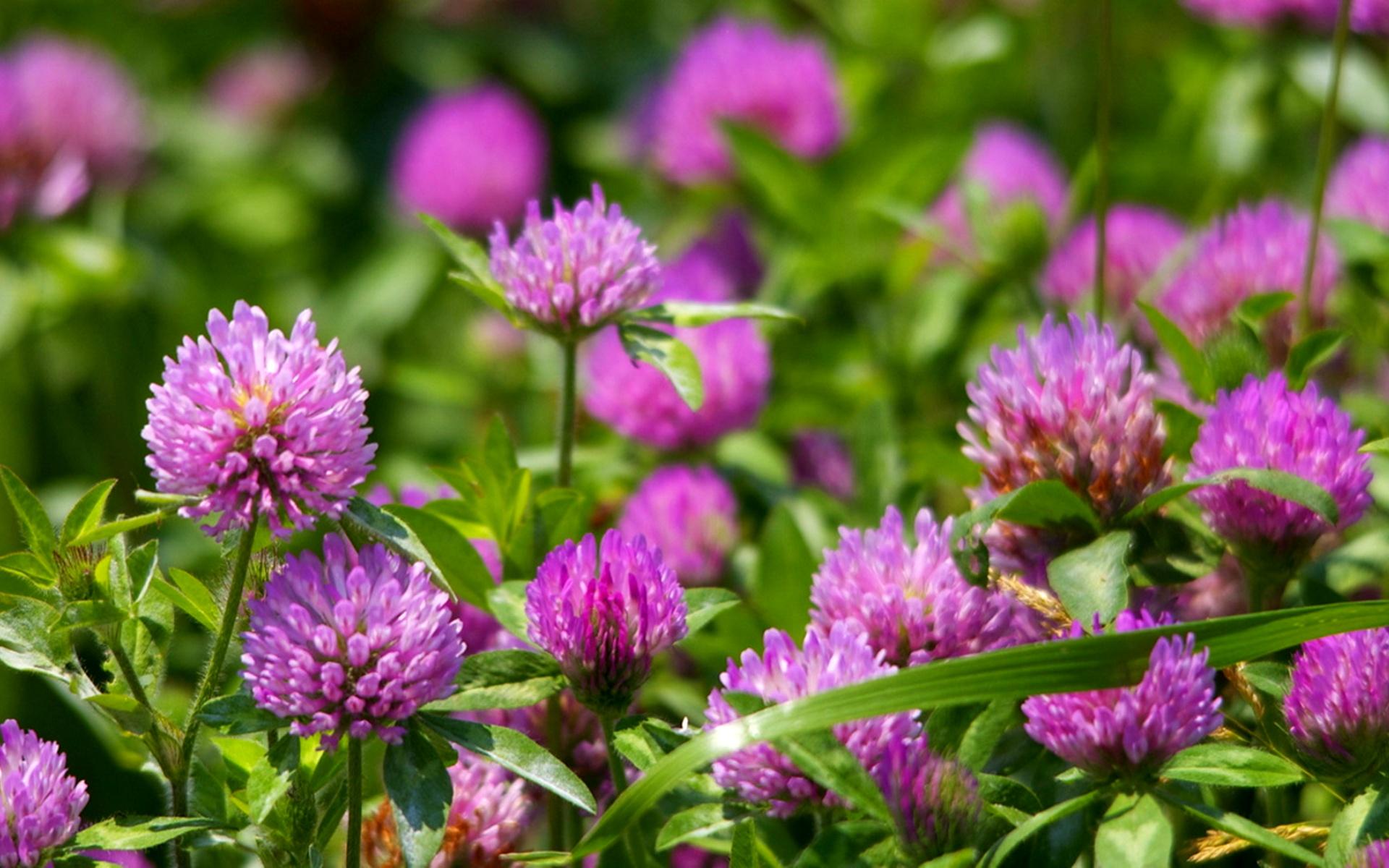 Цветок у клевера полевого