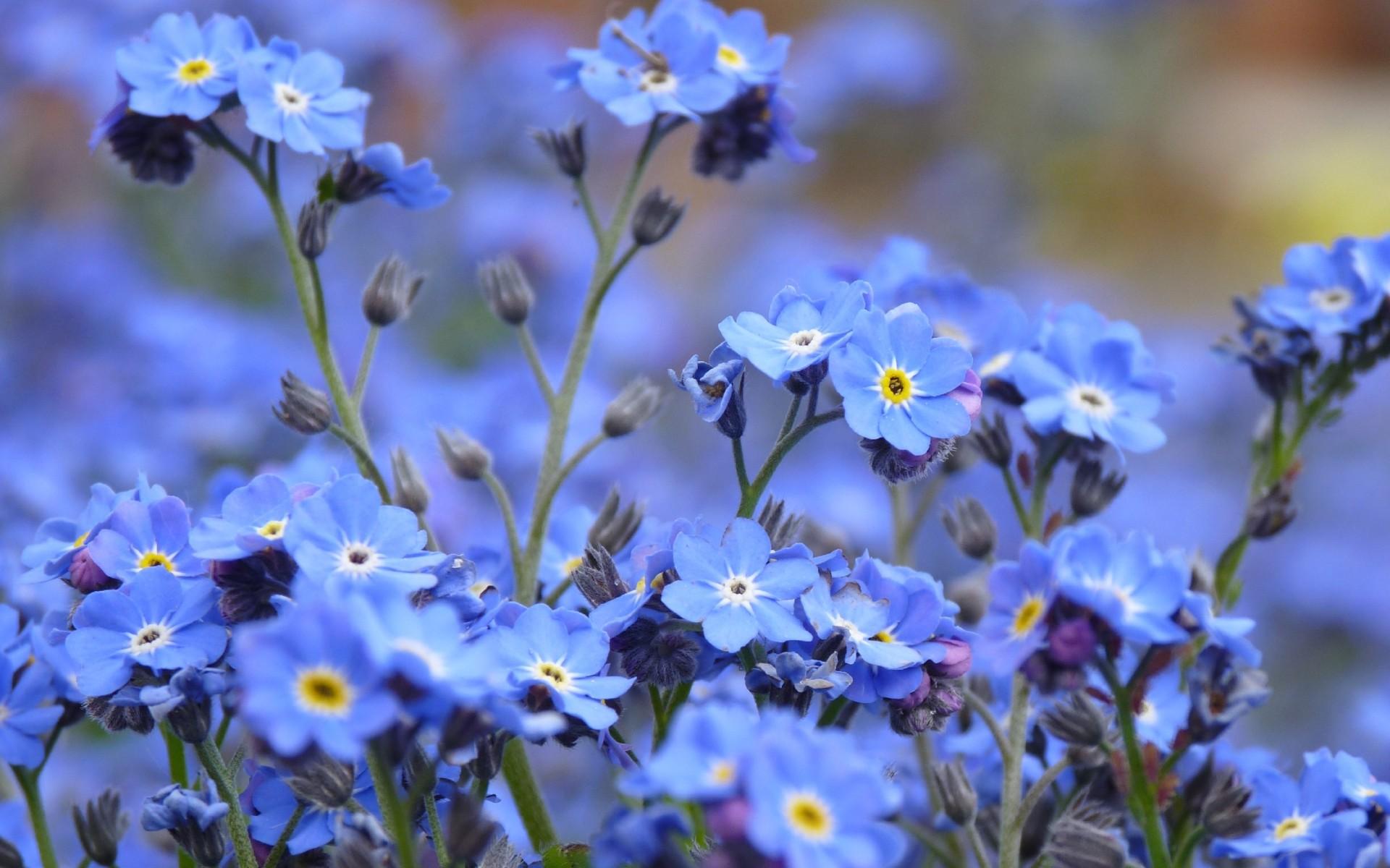 Цветок незабудка фото — catherinethegreat. Ru.