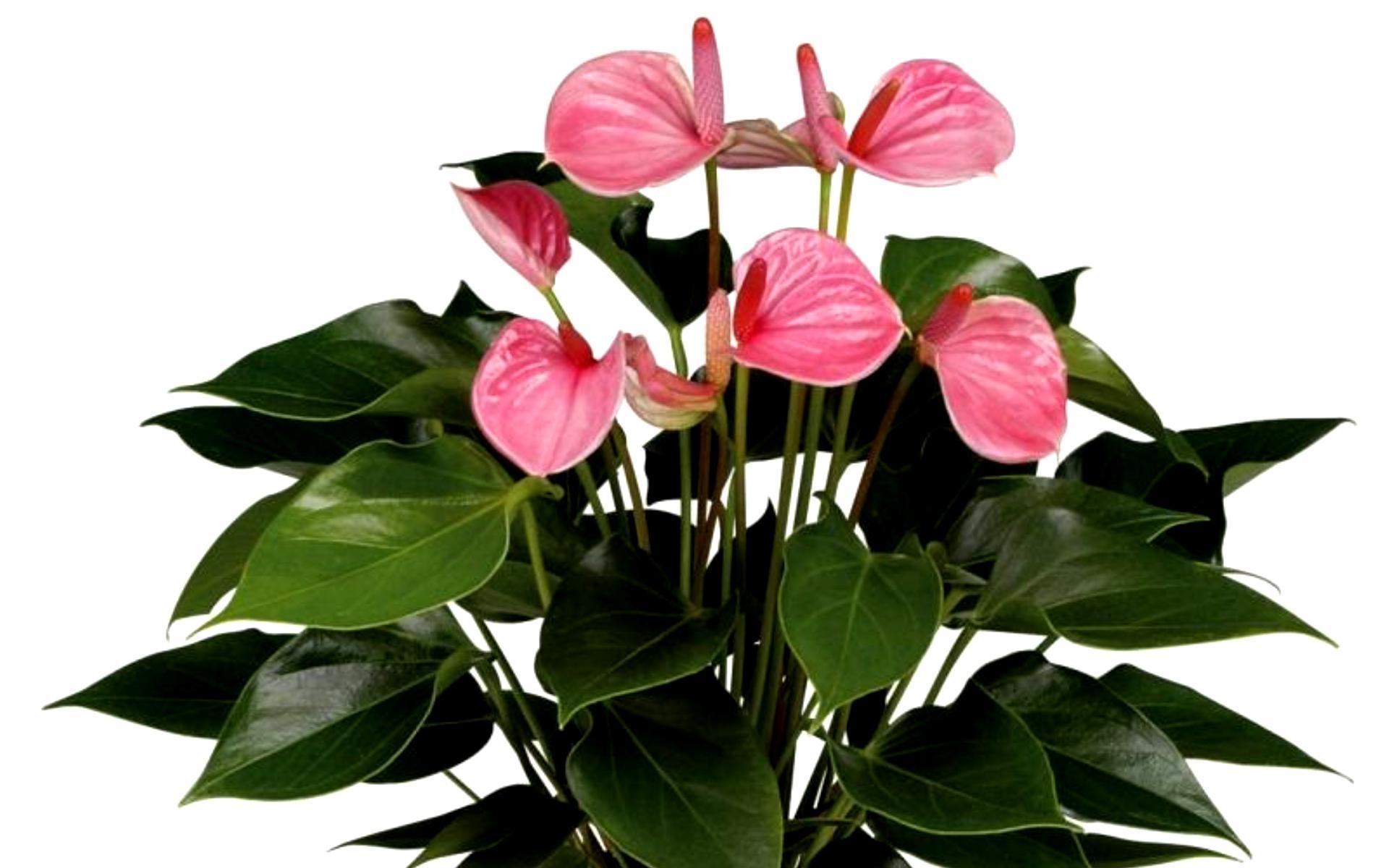 Домашние цветы в горшках фото и название антуриум