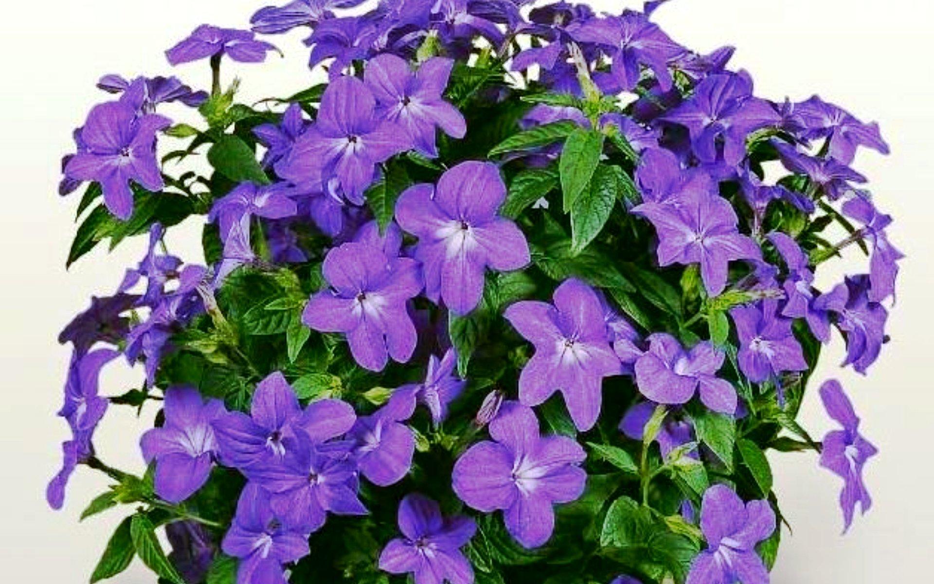 Фото всех комнатных фиолетовых цветов с названиями