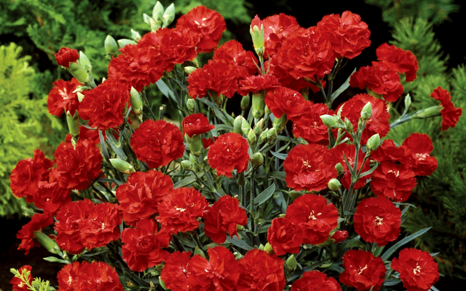 Как выглядит цветок гвоздики 137