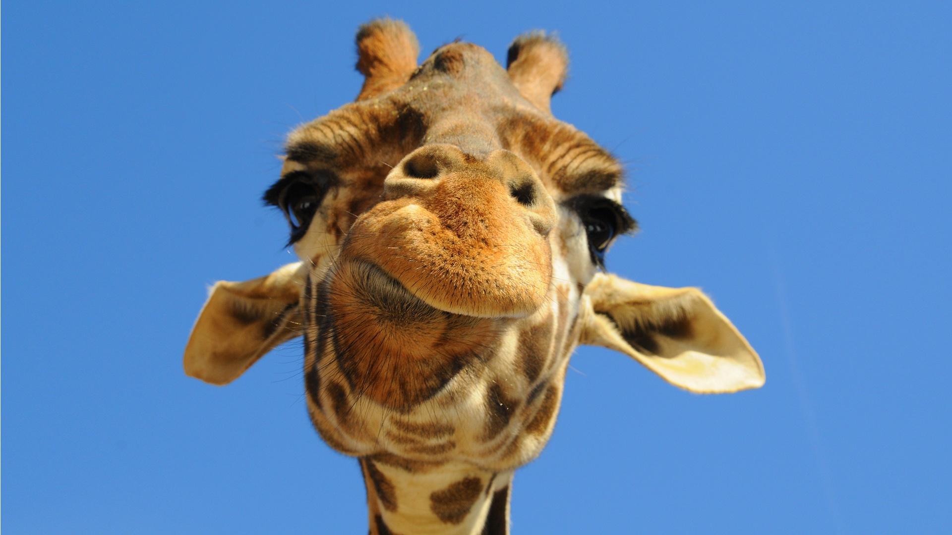 kartinki24_ru_animals_giraffes_0002.jpg