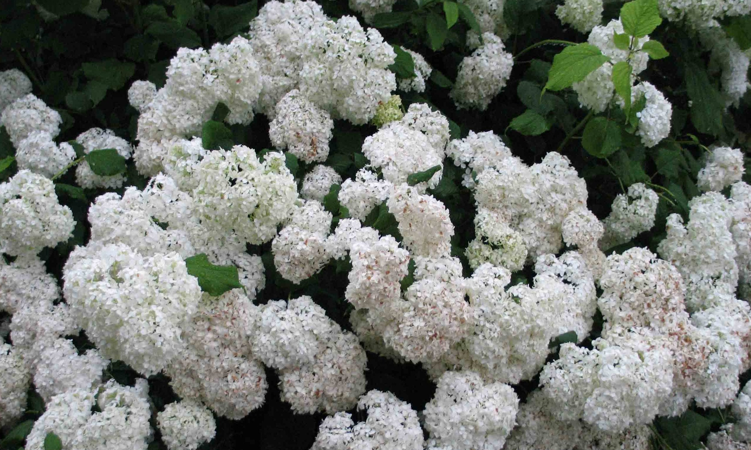 Гортензия фото садовая белая