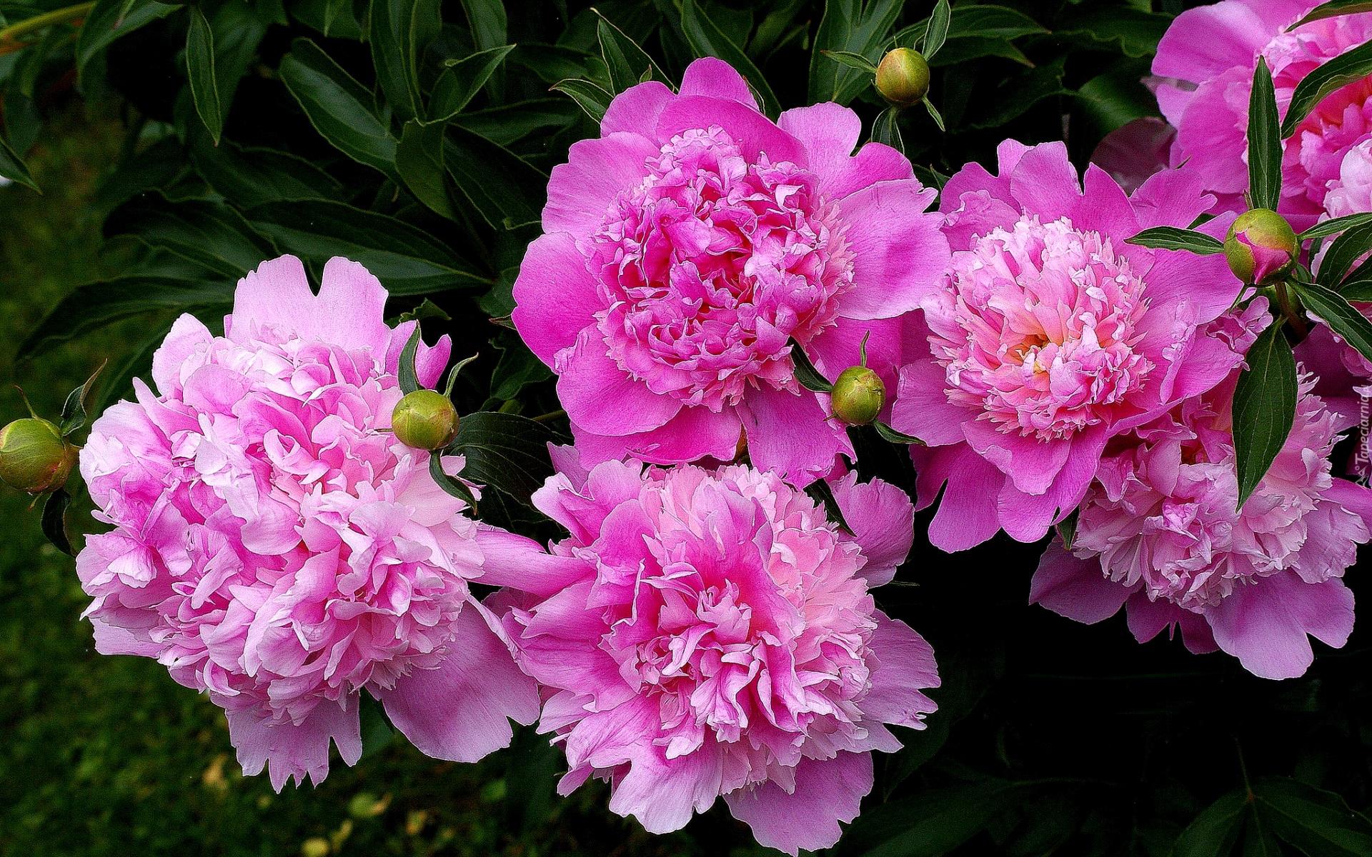 картинки скачать цветы пионы бесплатно