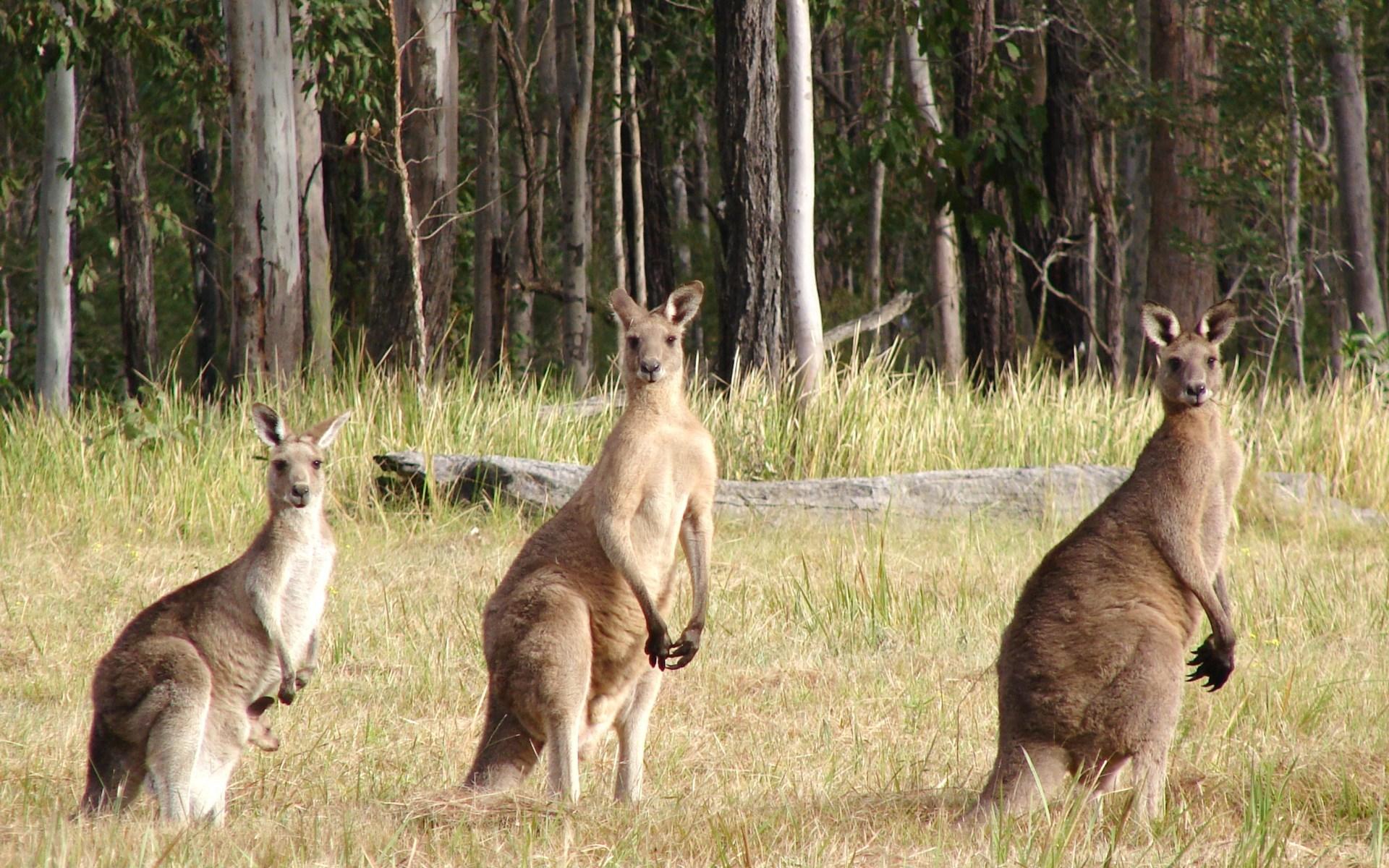Сколько у кенгуру вагин 28 фотография