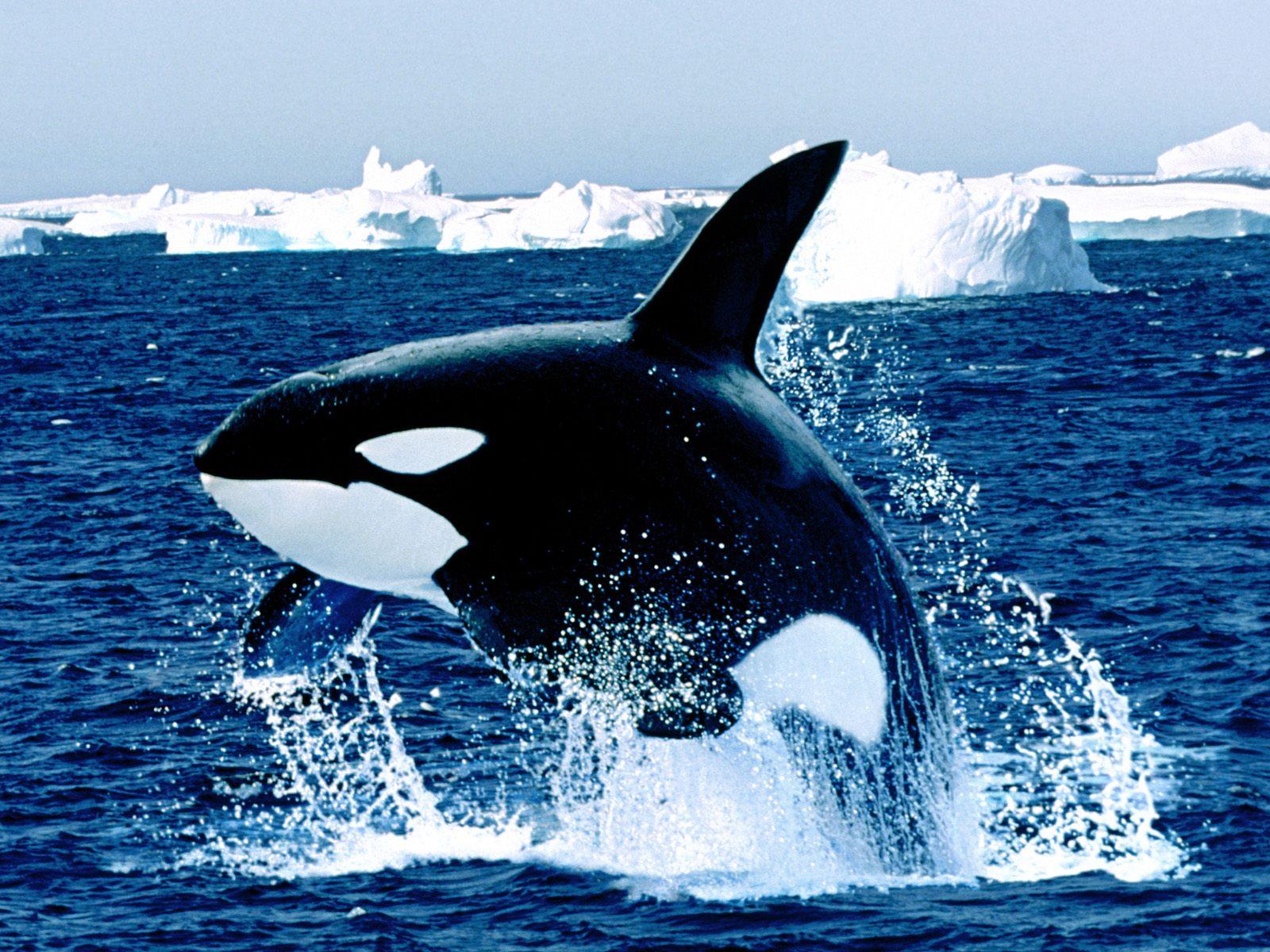 Огромный кит убийца
