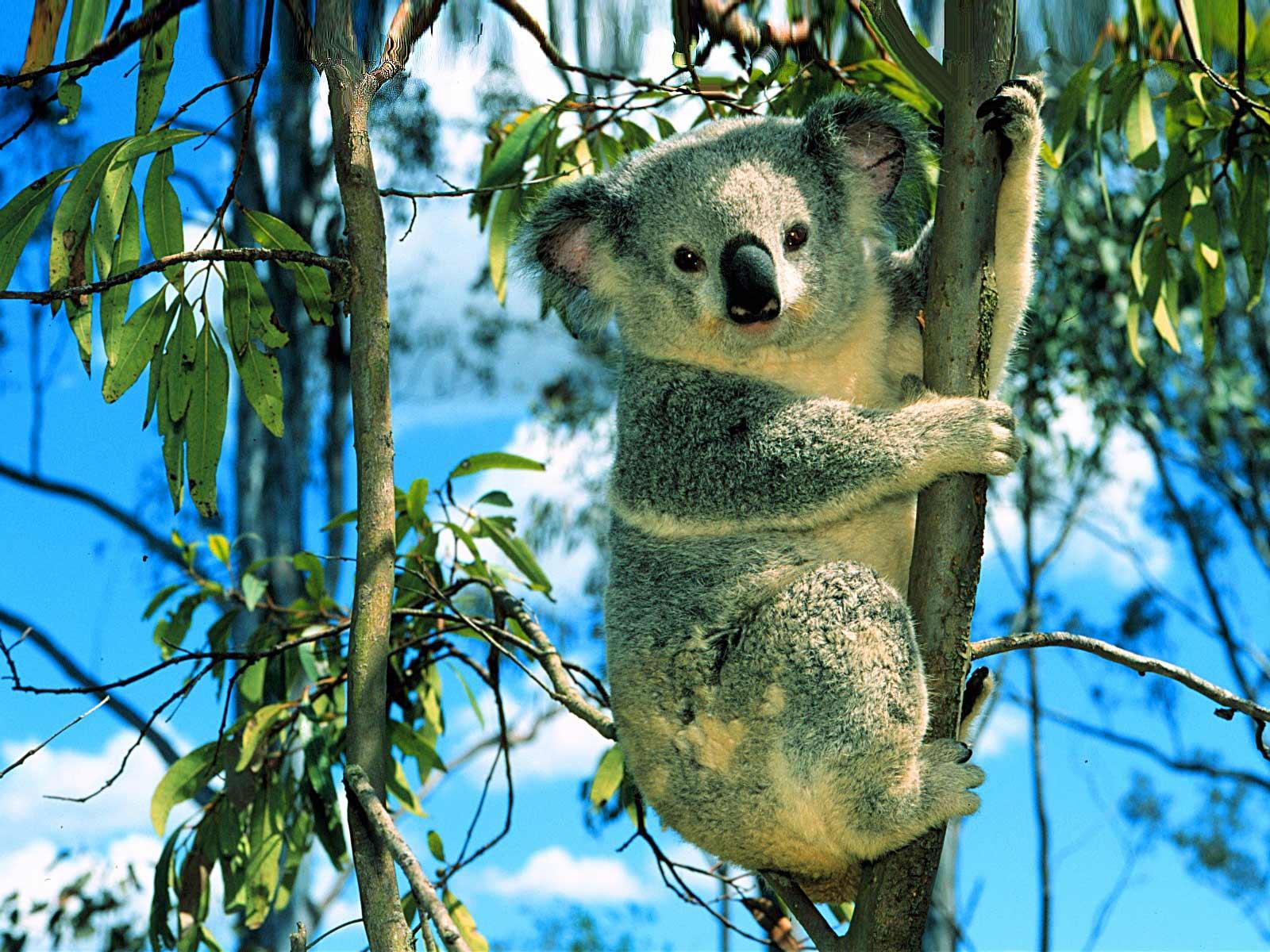 фото коалы на дереве
