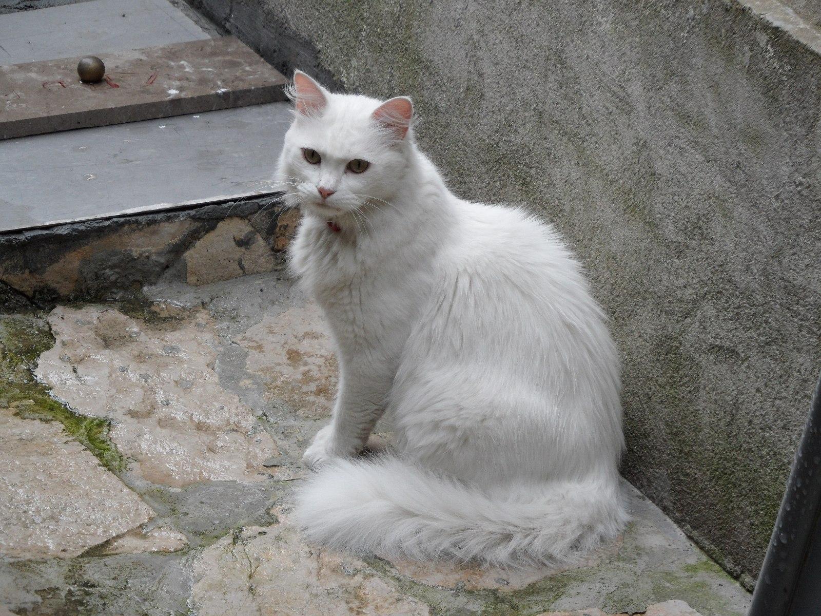 Белая пушистая кошка.