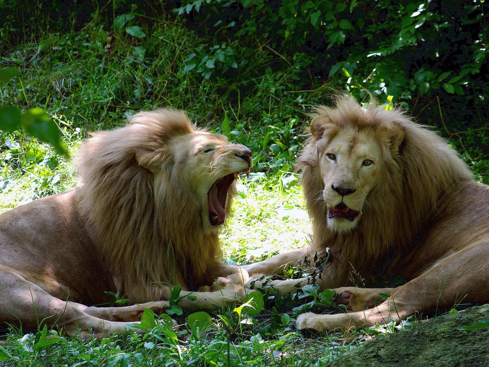 Скачать картинки льва аниме