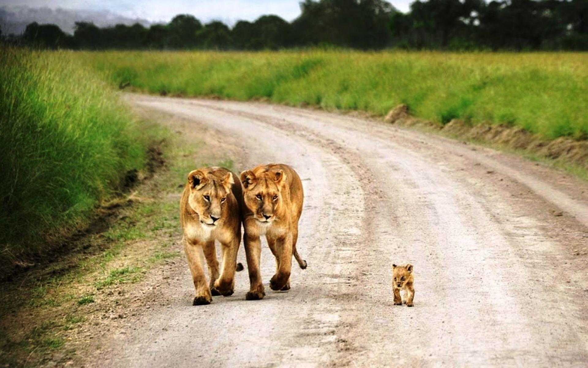 со львами и львицами