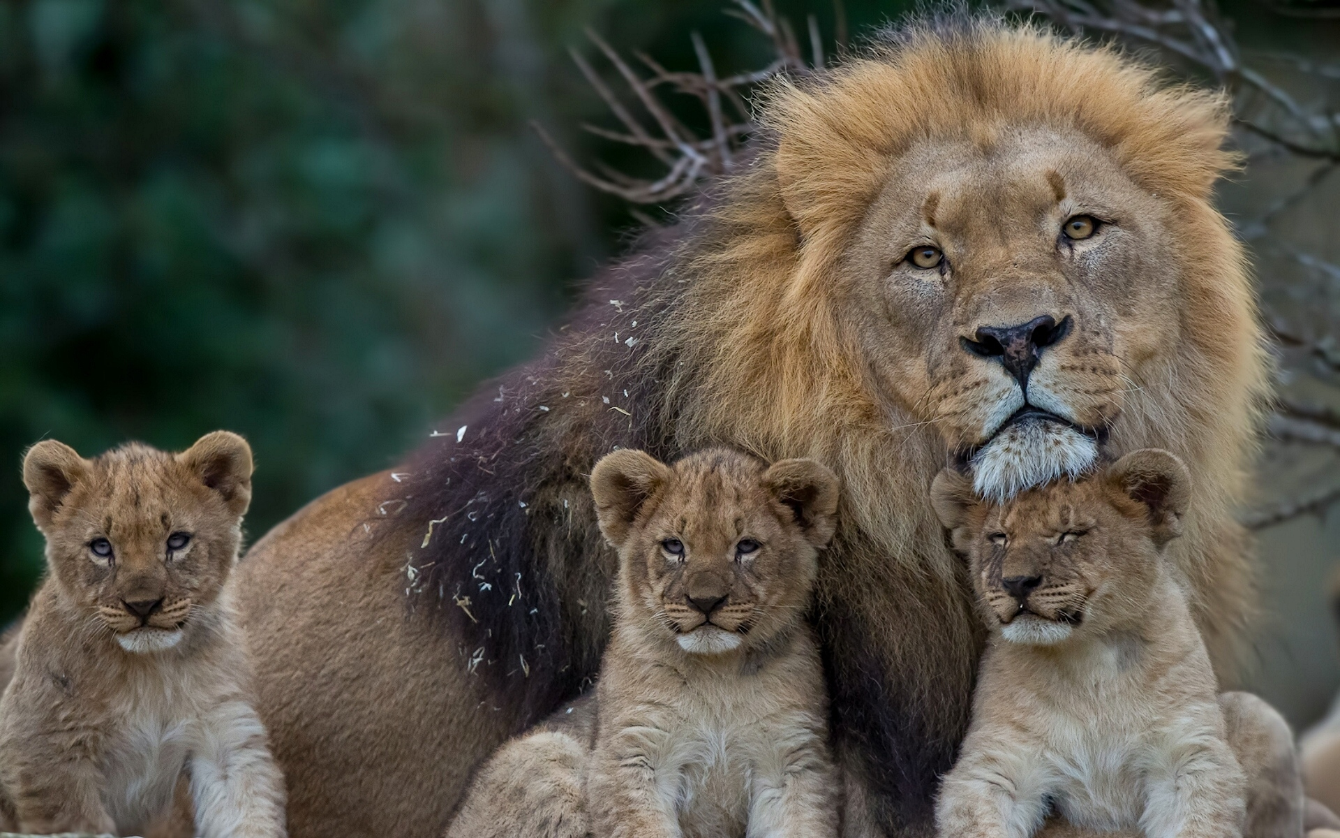 лев и львенок фото