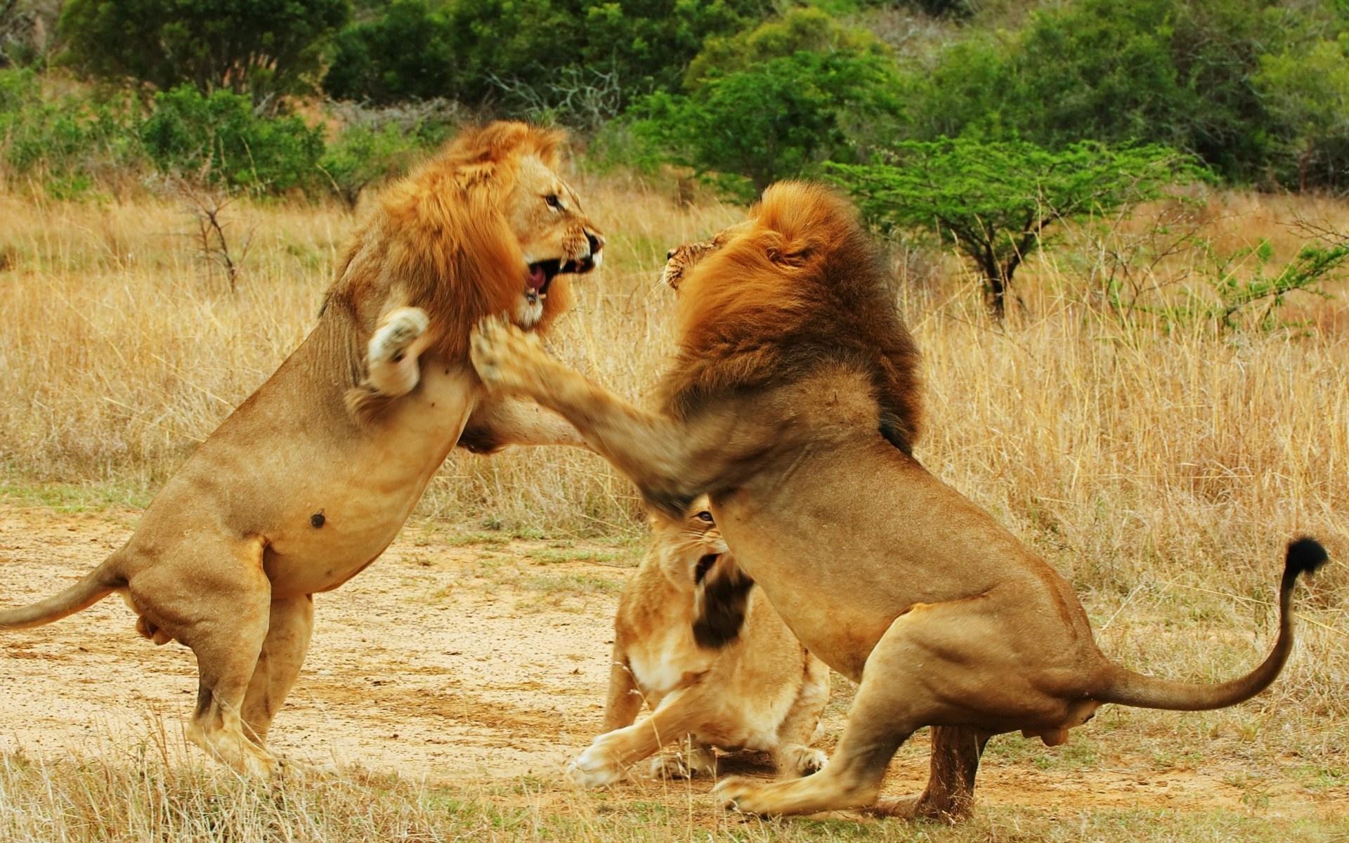 photoshop львы братская любовь картинки фото обои для