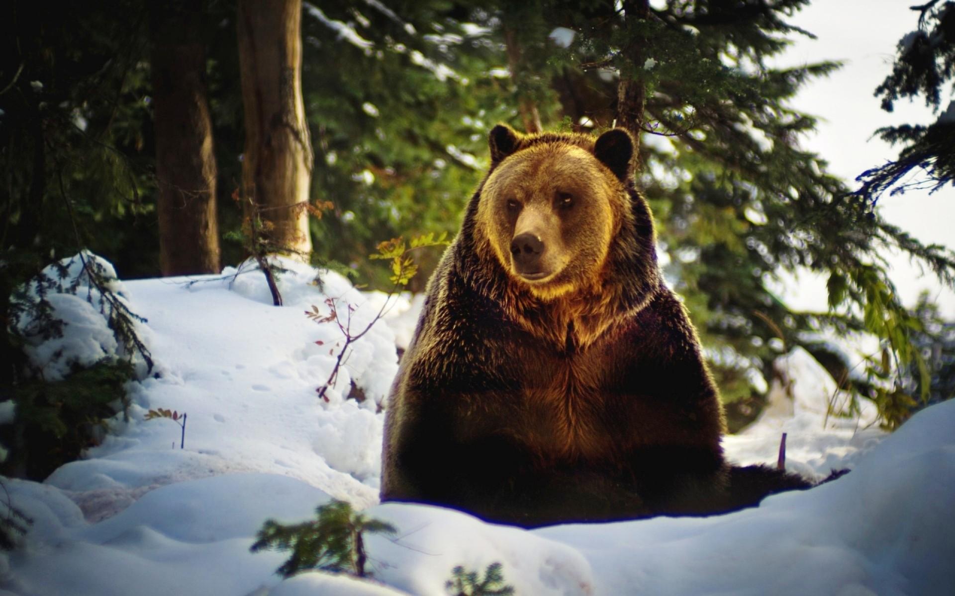 картинки медведь для раскрашивания