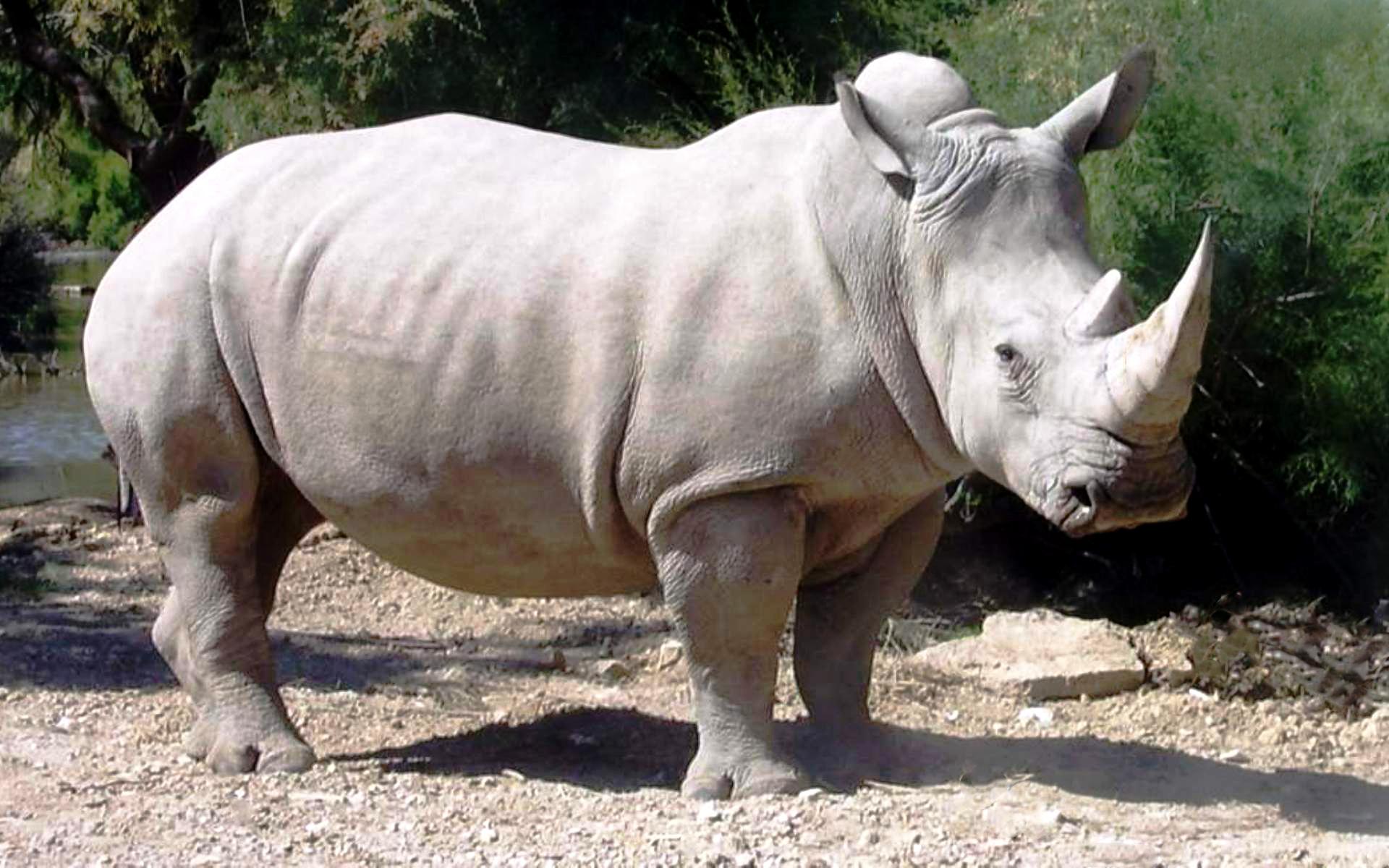 Картинки белый носорог