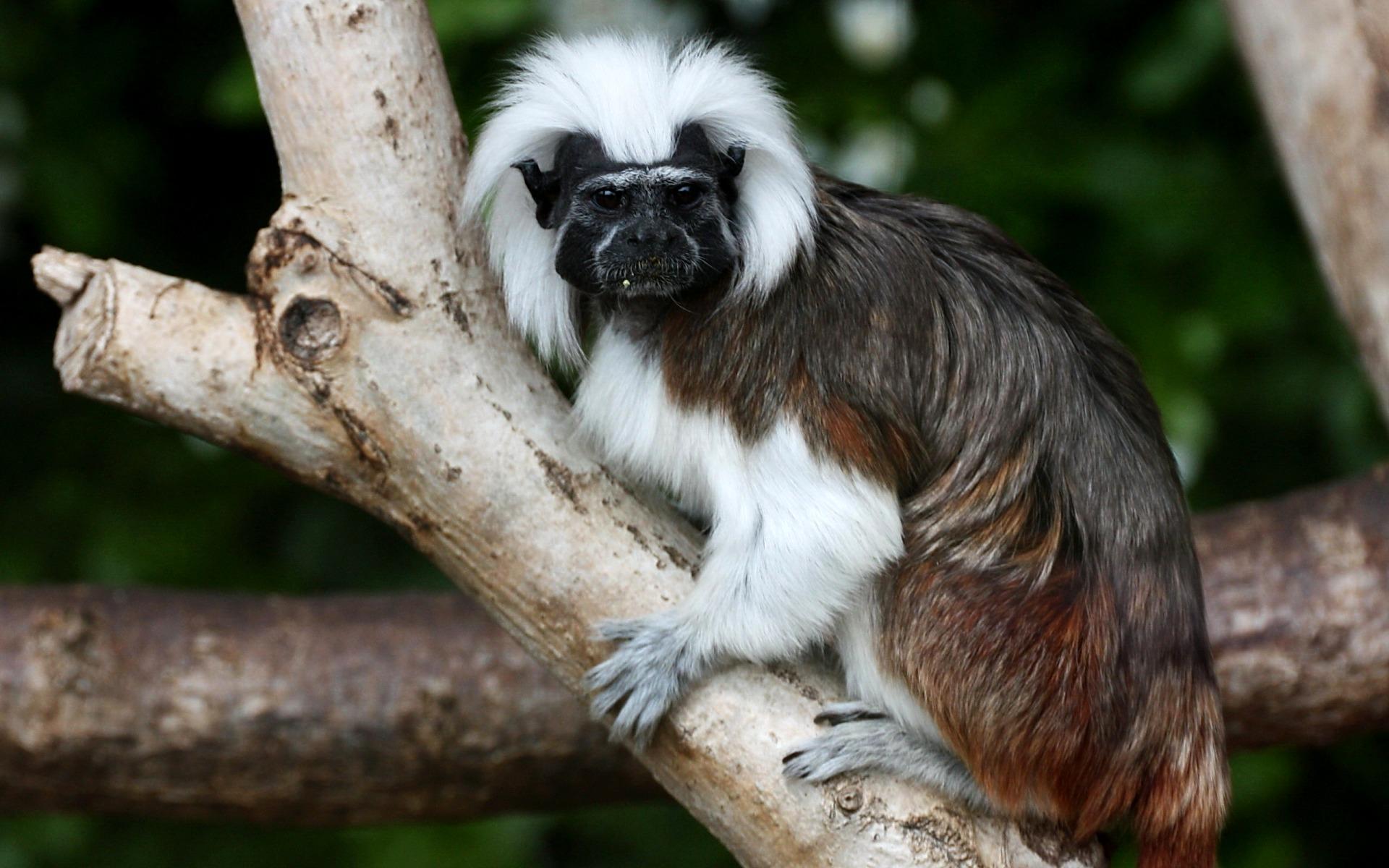 Фото половых органов обезьяны 8 фотография