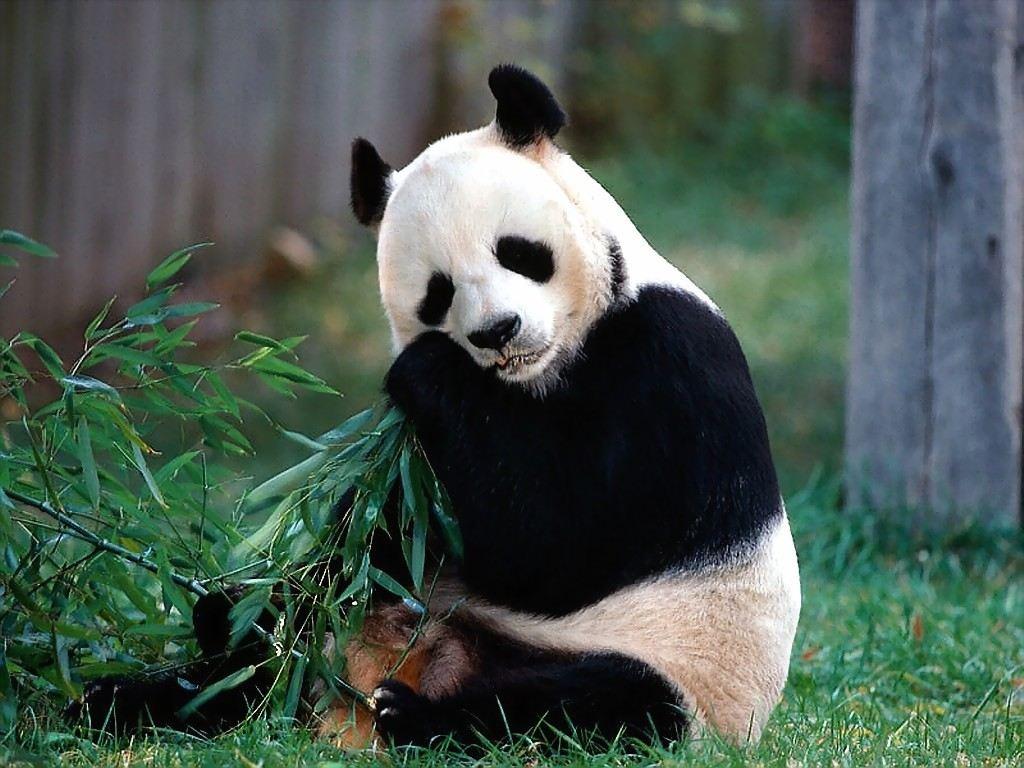ᐈ с пандой: картинка и фото панда принт, скачать изображения на.