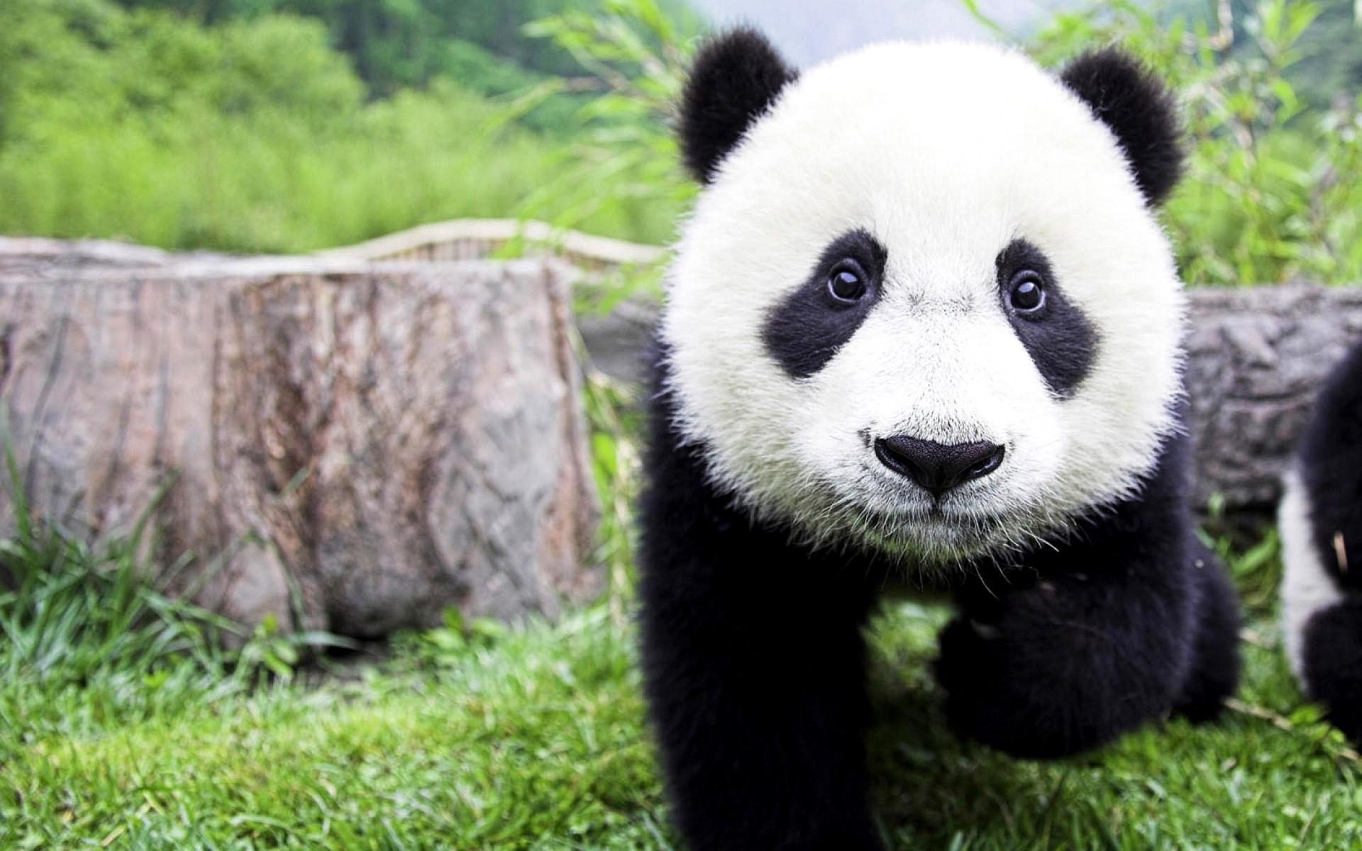 Фото панды скачать.