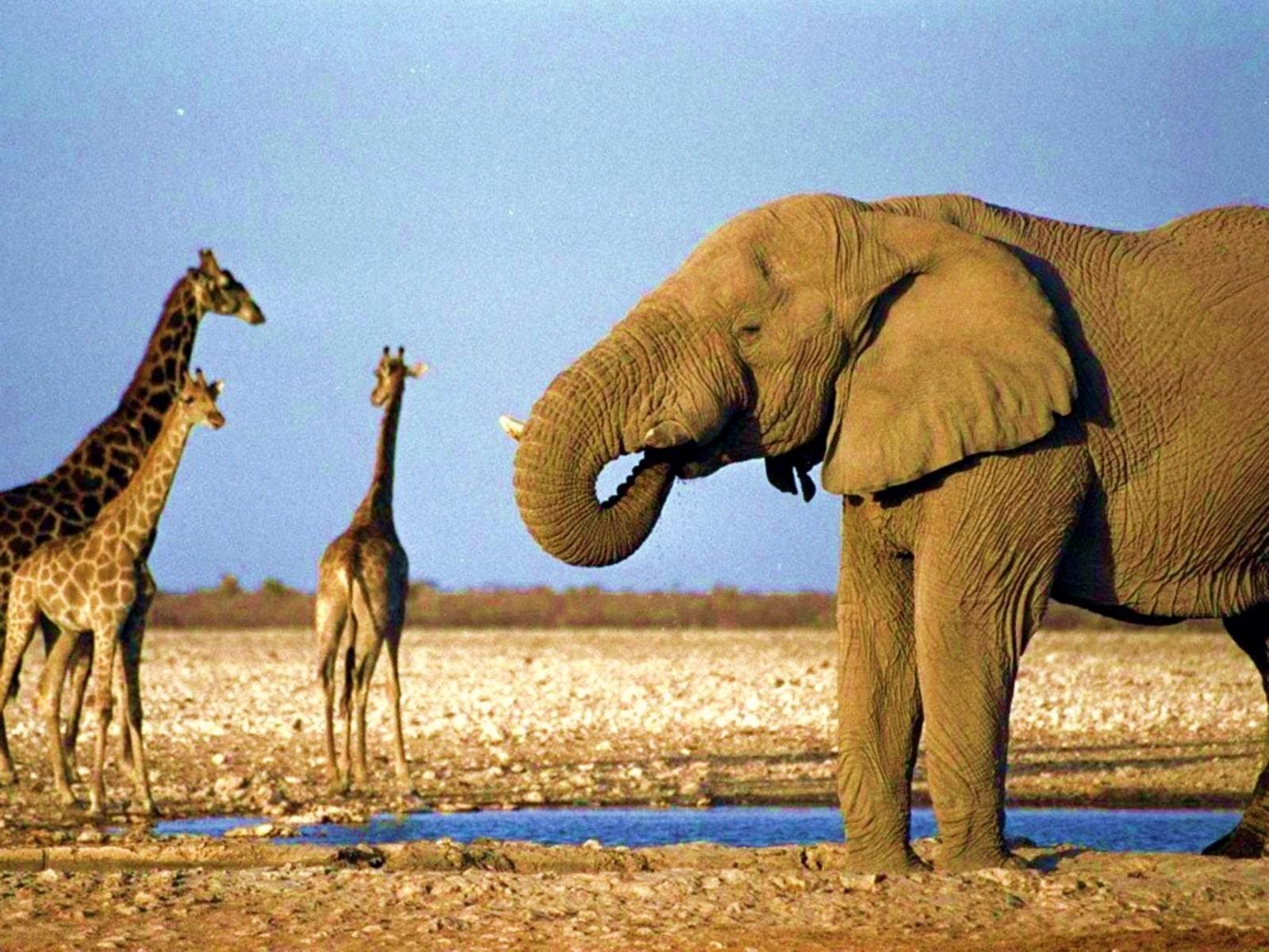 Слоныв природе секс 22 фотография