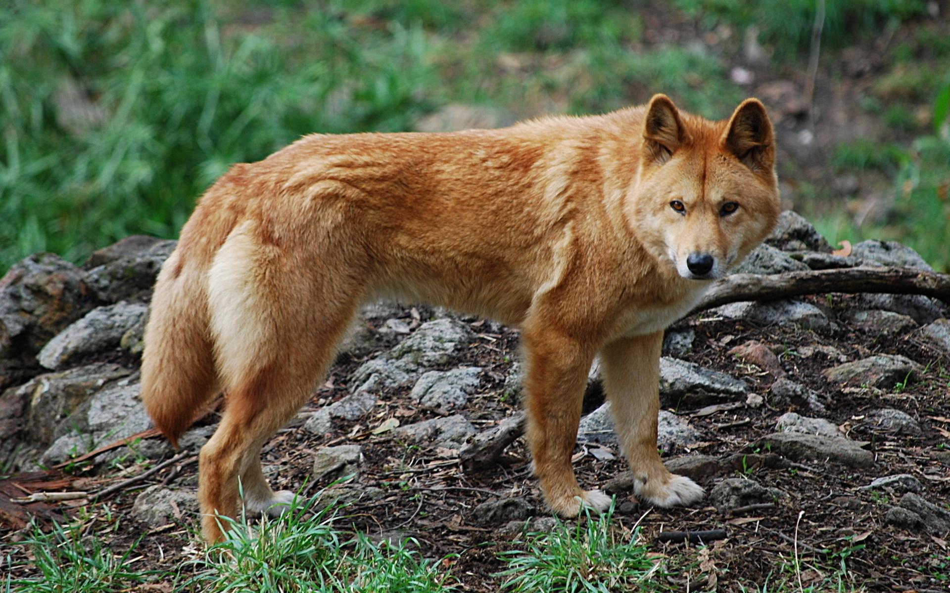 в дикая картинках динго собака