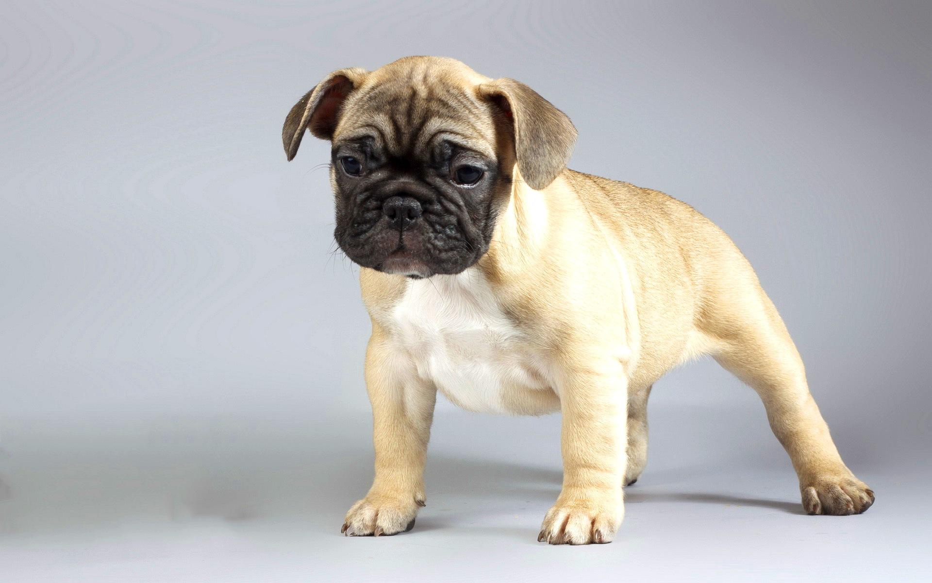 Мопс собаки картинки
