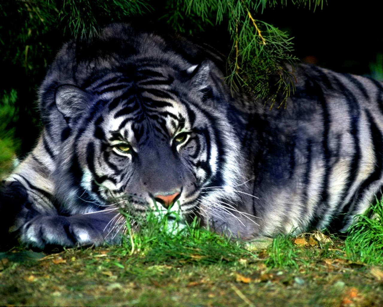 Картинка Синий тигр » Тигры » Животные ...: www.kartinki24.ru/kartinki/tigers/1207-kartinka-12.html