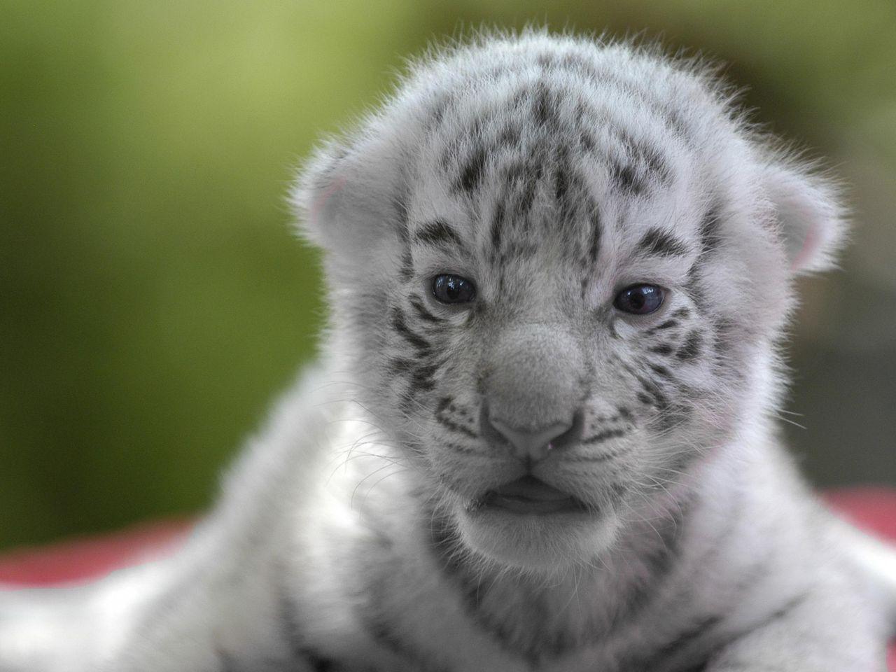 Маленький тигренок скачать бесплатно mp3