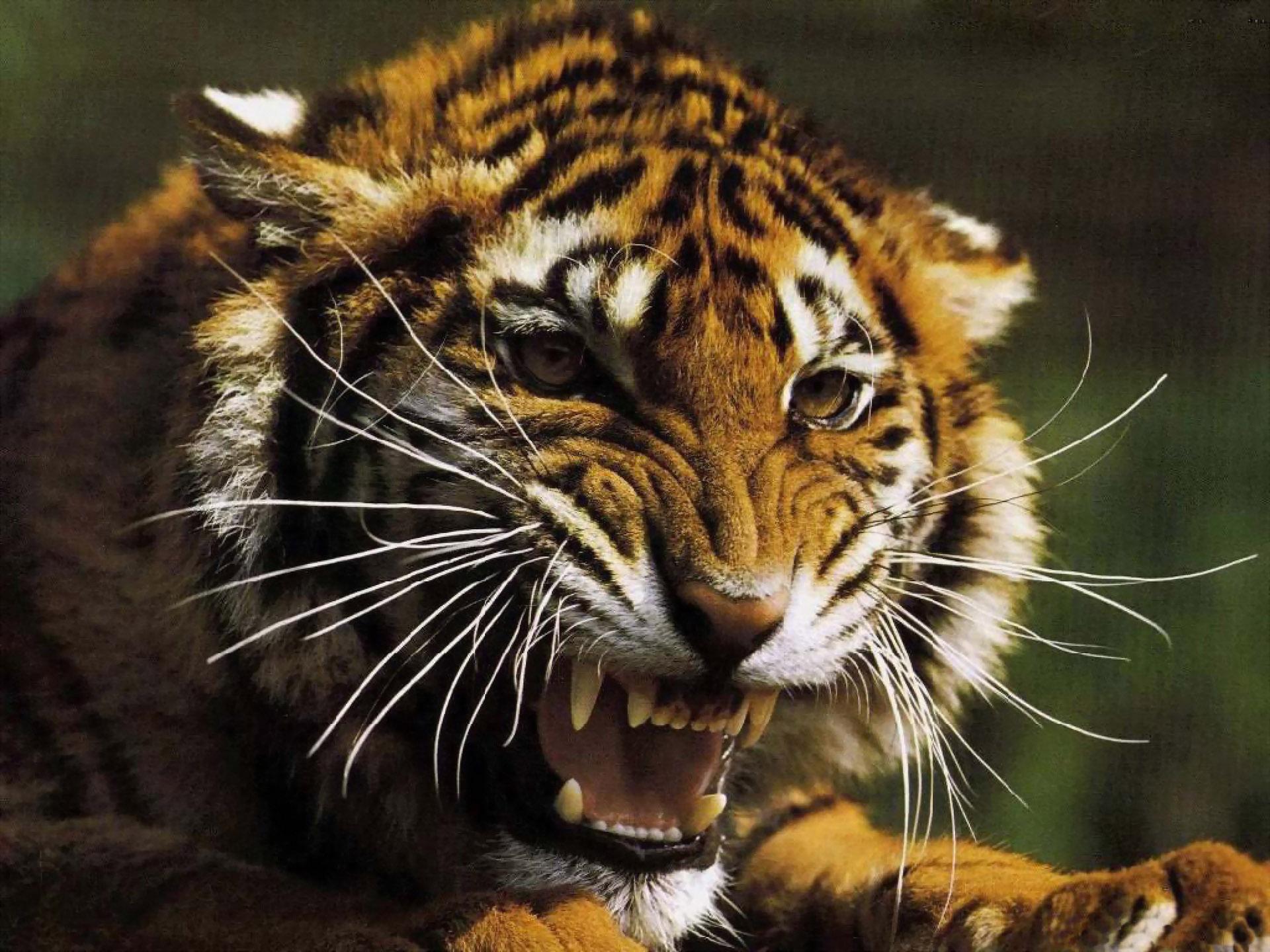 Картинка Тигр в ярости » Тигры ...: www.kartinki24.ru/kartinki/tigers/4539.html