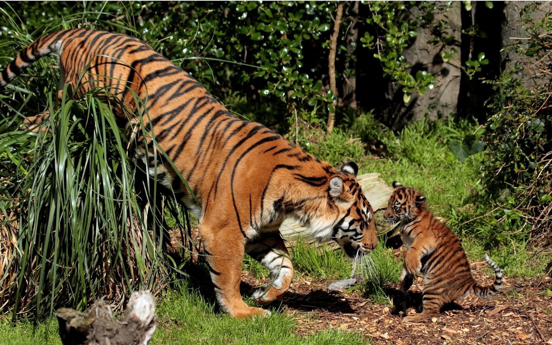 картинки с тигрятами на телефон бесплатно