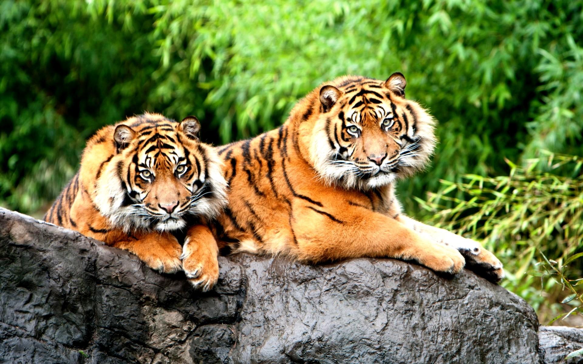 Картинка Тигры » Тигры » Животные ...: www.kartinki24.ru/kartinki/tigers/23111.html