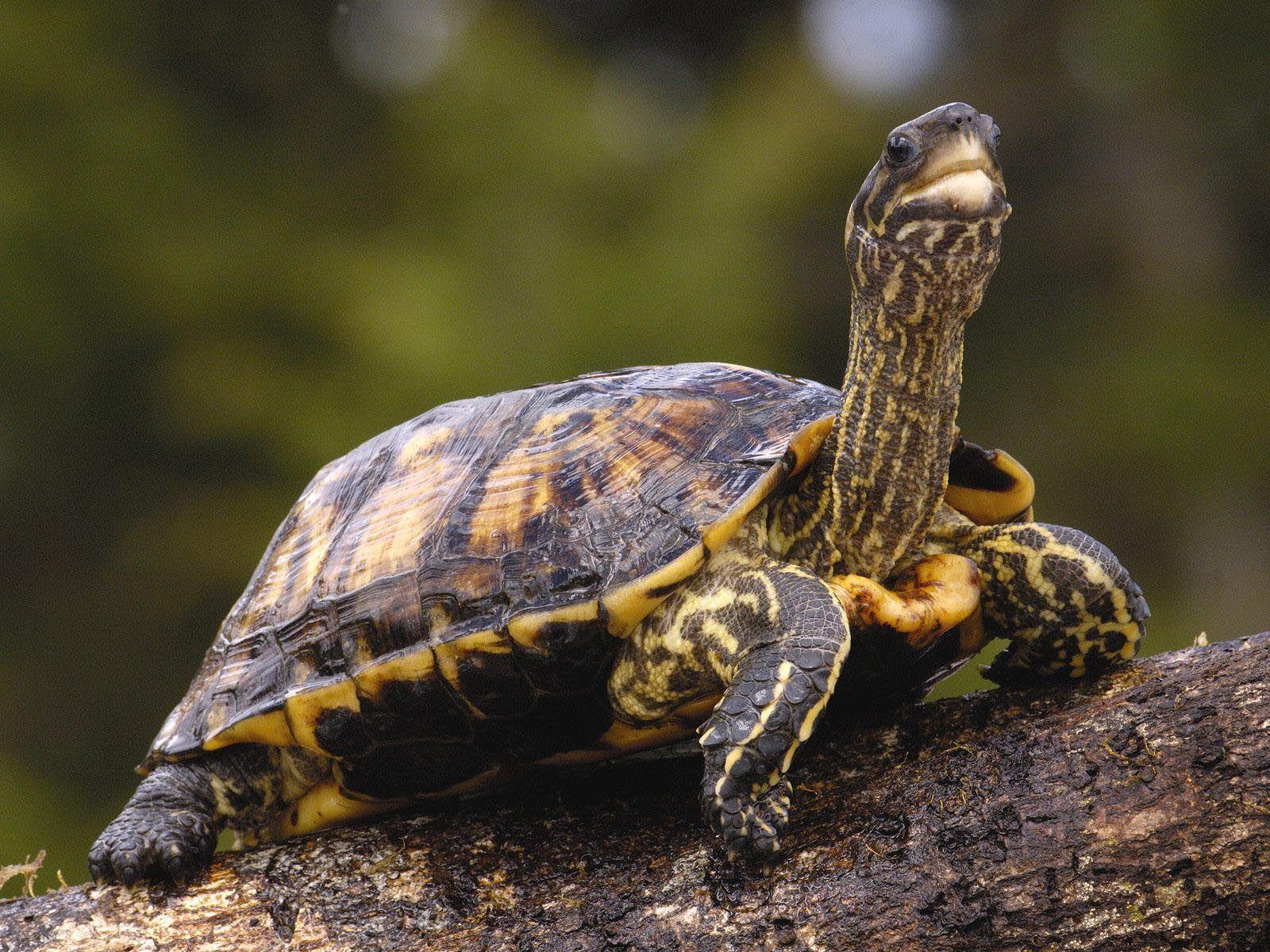 Сухопутная черепаха чем кормить - 73b4