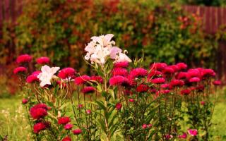 Астра в саду: посадка, уход, проблемы выращивания - статья от ... | 200x320