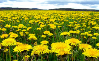 Желтое поле одуванчиков.