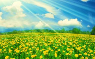 Солнечное поле одуванчиков.