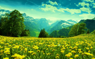 Цветы одуванчики в горах.