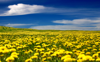 Одуванчики под синим весенним небом