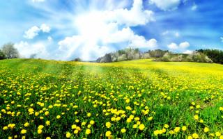 Солнечные цветы одуванчики