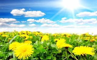 Цветы весны одуванчики