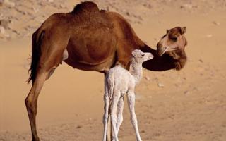 Верблюды в Египте