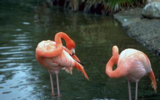 Розовый фламинго живет на Кипре