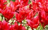 Красные лилии