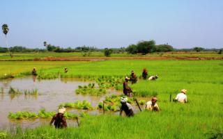 Индия. Уборка урожая